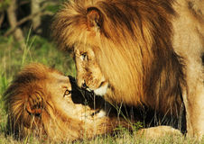 The Brother Lions Stock Photography