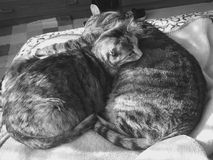 Female and Male cat | Tabby markings | black and white Royalty Free Stock Photography