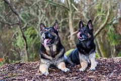 Brother and sister German Shepherds. Both German Shepherds are Search and Rescue dogs based in the central north island of New Zealand stock photography