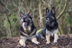 Brother and sister German Shepherds. Both German Shepherds are Search and Rescue dogs based in the central north island of New Zealand royalty free stock images