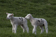 Brother and sister lamb Royalty Free Stock Photos