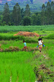 Brother and sister rice fields. Royalty Free Stock Image