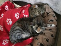 Brother and Sister Tabby Cats Resting Stock Photo