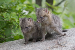 Brother and sister. Two Grey fox kits viewing the world in awe Stock Photos
