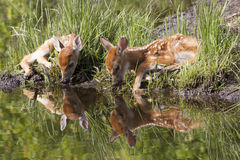 Brother and Sister. Two young whitetail fawns drinking water by rivers edge in springtime with beautiful reflection in water Stock Image