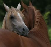 Brothers. Paternal Arabian horse brothers, younger one resting his head on his older brother Royalty Free Stock Images