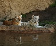 Brothers. Pair of young Bengal Tigers Royalty Free Stock Photos