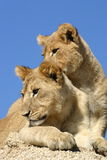 Brothers. Two young male african lion cubs Royalty Free Stock Image