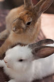 Brothers bunnies Stock Photography