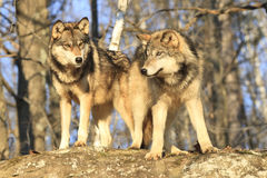 Brothers. Golden light on two timber wolves stock photos