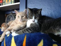 Brothers. Make cats kitten male brothers one two blue tomcat stare Stock Photography