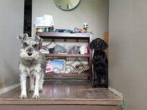 Brothers. Miniature schnauzer and coonhound buddies watching daddy leave for work Stock Photos