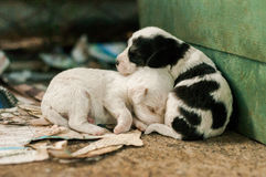 Brothers. New Born Puppy Dogs Sleeping Together Royalty Free Stock Images