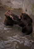 Brothers. Two bears having fun in the pool Stock Photo