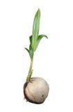 Broto da árvore de coco Fotos de Stock