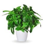 Broto da gardênia uma planta em pasta isolada sobre o branco Imagem de Stock Royalty Free