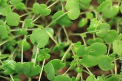 Broto da planta verde que cresce a germinação da natureza maravilhosa do verão da primavera da semente isolada no branco imagem de stock