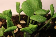 Broto da planta verde que cresce a germinação da natureza maravilhosa do verão da primavera da semente isolada no branco fotografia de stock