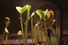 Broto da planta verde que cresce a germinação da natureza maravilhosa do verão da primavera da semente isolada no branco fotos de stock