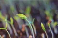 Broto da planta verde que cresce a germinação da natureza maravilhosa do verão da primavera da semente isolada no branco foto de stock royalty free