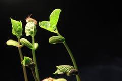 Broto da planta verde que cresce a germinação da natureza maravilhosa do verão da primavera da semente isolada no preto imagens de stock