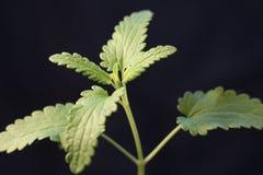 Broto da planta verde que cresce a germinação da natureza maravilhosa do verão da primavera da semente isolada no preto foto de stock royalty free