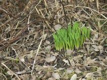 Broto de Narcissuses na primavera Fotografia de Stock