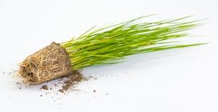 Broto do arroz isolado perto acima Fotografia de Stock