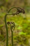 Broto dos fiddleheads da samambaia do assoalho da floresta tropical foto de stock
