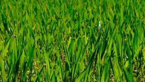 Broto e abelha novos da grama do trigo video estoque