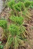 Broto no campo do arroz Foto de Stock Royalty Free