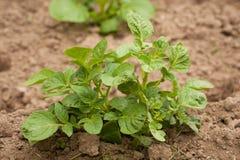 Broto novo da batata com as folhas do verde que crescem do solo Imagens de Stock