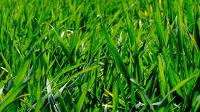 Broto novo da grama do trigo vídeos de arquivo
