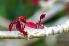 Broto novo das folhas vermelhas em um ramo fotografia de stock