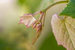 Broto novo das uvas Botões do vinhedo na mola fotografia de stock royalty free
