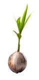 Broto novo do coco mim Fotografia de Stock