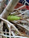 Broto & raizes novos da orquídea Imagens de Stock