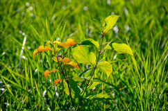 Broto verde bonito Imagem de Stock