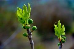 Broto verde da mola em Paphos fotos de stock