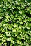 Broto verde do aipo Fotos de Stock