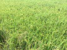 Broto verde do arroz pronto Imagem de Stock Royalty Free
