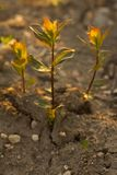 Broto verde na terra seca Fotos de Stock Royalty Free