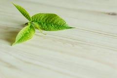 Broto verde novo, folha no fundo de madeira Fundo de madeira Textura Foto de Stock Royalty Free