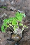 Broto verde que cresce da semente Imagem de Stock