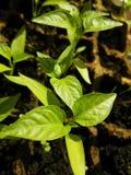Broto verde que cresce da semente em umas caixas quadradas Imagem de Stock Royalty Free