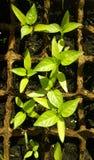Broto verde que cresce da semente em umas caixas quadradas Foto de Stock Royalty Free