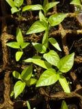 Broto verde que cresce da semente em umas caixas quadradas Fotos de Stock
