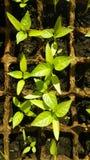 Broto verde que cresce da semente em umas caixas quadradas Fotografia de Stock Royalty Free