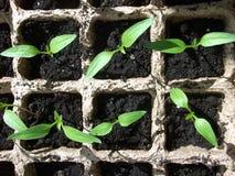Broto verde que cresce da semente em umas caixas quadradas Imagens de Stock
