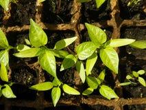 Broto verde que cresce da semente em umas caixas quadradas Foto de Stock